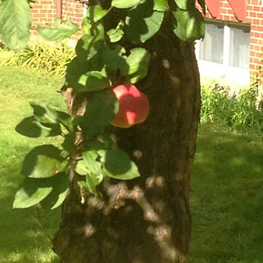 apple tree apple-tree.jpg